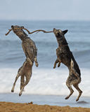 Carry a big stick. Two dogs(Dalmatians?) mid-air with a large branch Stock Images