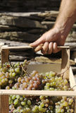 Carry grapes Stock Photos