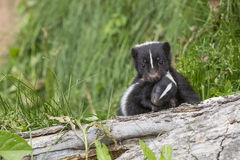 Carry me. A mother skunk carrying her infant baby Stock Photo