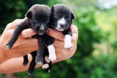 Carry poor black breed puppy of Thailand with human big hand Royalty Free Stock Photos