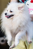 Carry white Pomeranian Royalty Free Stock Image