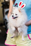 Carry white Pomeranian Royalty Free Stock Photography