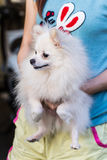 Carry white Pomeranian Stock Photos