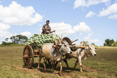 Carrying cabbages to market in Myanmar. Royalty Free Stock Image