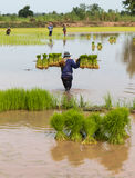 Carrying rice seedlings. Royalty Free Stock Image