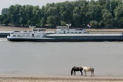 Carrying-trade on a dutch river. Two cargo-boats are passing each other on the river Waal in the Netherlands, while horses are walking along the bank Stock Photos