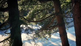 Cars Drive Past Trees In Pretty Afternoon Lighting. Traffic near large cedar trees casting long shadows in the afternoon stock footage