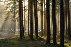 Cars in forest. Cars parking in a pine wood royalty free stock photos