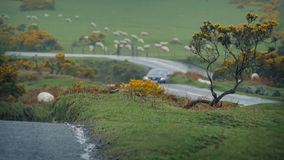 Cars Passing In Farmland Near Flock Of Sheep. A couple of cars pass on the wet road through rural area with field of sheep nearby stock video footage