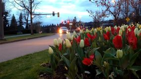 Cars ride by street with tulips on right side stock video footage