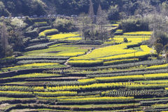 Cars on the road, pedestrians in the path, many layers of terraced fields on the hillside. Yellow green interval, the layer cascade folds, the color contrast is Royalty Free Stock Images