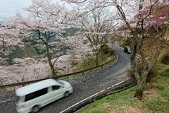 Cars traveling on a curvy mountain highway winding up the hill of sakura  cherry  blossom trees in Miyasumi Park Stock Image