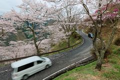 Cars traveling on a curvy mountain highway winding up the hill of sakura cherry blossom trees in Miyasumi Park, Okayama, Japan. !n Beautiful spring scenery of Royalty Free Stock Photography