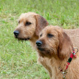Carse Haired Styrian Hounds Royalty Free Stock Photography