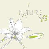 Cartão com flor do lírio Foto de Stock