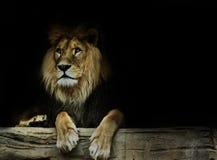 Cartão com leão fotos de stock