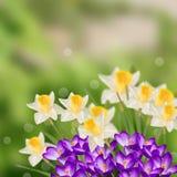 Cartão com os narcisos amarelos das flores frescas Imagem de Stock