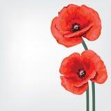 Cartão da flor para o convite Papoila vermelha Fotografia de Stock