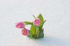 Cartão da mola com as tulipas na neve imagens de stock royalty free