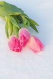 Cartão da mola com as tulipas na neve fotos de stock royalty free