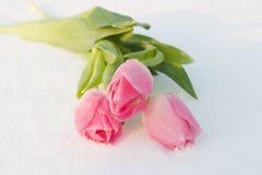 Cartão da mola com as tulipas na neve imagens de stock