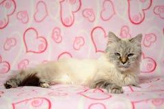 Cartão do amor com disfarce de Neva da raça do gato Fotos de Stock