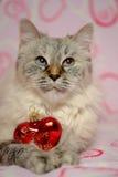 Cartão do amor com disfarce de Neva da raça do gato Foto de Stock Royalty Free