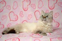 Cartão do amor com disfarce de Neva da raça do gato Imagens de Stock Royalty Free