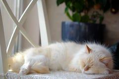 Cartão do amor com disfarce de Neva da raça do gato Imagem de Stock