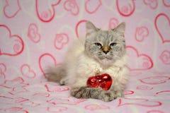Cartão do amor com disfarce de Neva da raça do gato Fotos de Stock Royalty Free