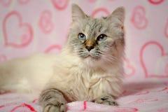 Cartão do amor com disfarce de Neva da raça do gato Imagens de Stock