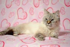 Cartão do amor com disfarce de Neva da raça do gato Foto de Stock
