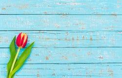 Cartão do feliz aniversario ou do dia de mães com a uma flor vermelha da tulipa na luz - fundo de madeira azul com espaço da cópi Fotos de Stock Royalty Free