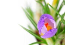 Cartão do flor-cumprimento do açafrão da mola Foto de Stock Royalty Free