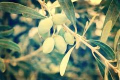 Cartão do Grunge do ramo de oliveira verde, Grécia Imagem de Stock Royalty Free