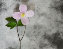 Cartão dos pêsames - flor cor-de-rosa Fotografia de Stock Royalty Free