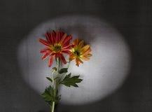 Cartão dos pêsames - flores vermelhas Fotos de Stock Royalty Free