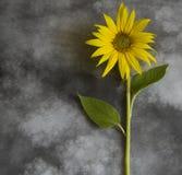 Cartão dos pêsames - girassol amarelo Imagem de Stock Royalty Free