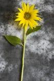 Cartão dos pêsames - girassol amarelo Fotografia de Stock Royalty Free