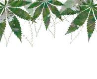 Cartão, molde, desenho da mão da bandeira das folhas de cannabis do cânhamo ilustração stock