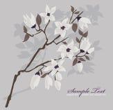 Cartão ou convite com fundo da flor de cereja Imagens de Stock Royalty Free