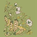 Cartão verde da flor da ervilha doce Imagens de Stock Royalty Free