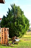 Piles of wood in front of a fir tree in the garden. Cart full of wood stock photography