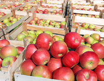 Cart full of apples Royalty Free Stock Photo