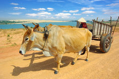 Cart harnessed by bulls in Vietnam Royalty Free Stock Photo