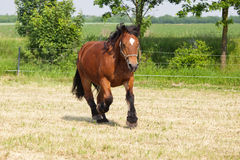 Cart horse on the paddock Royalty Free Stock Photography