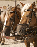 Cart horses, Salzburg Austria Stock Photography