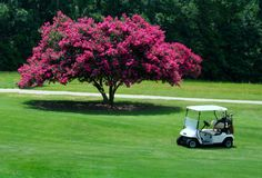 Cart Myrtle. Golf cart in front of a crepe myrtle Royalty Free Stock Photos