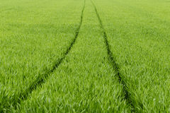 Cart rut. Plantation of wheat in early spring Stock Photography