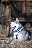 The cart and sled dog Huskies Royalty Free Stock Images
